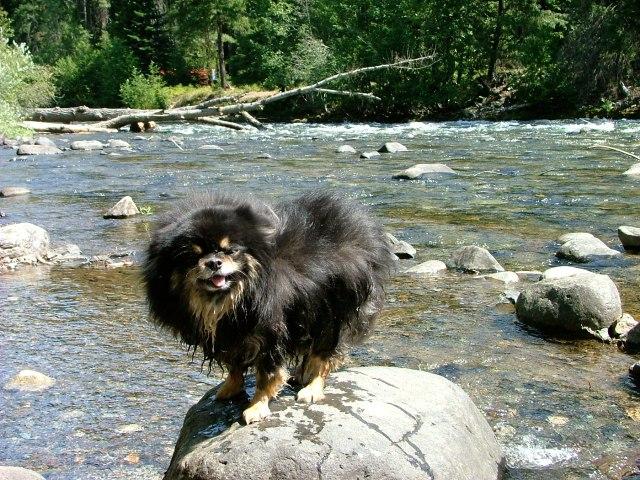 Cordelia the pomeranian dog